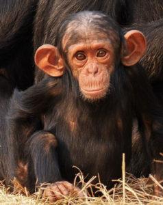 Big eared baby chimp
